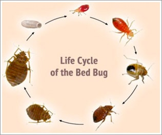 what are bedbugs
