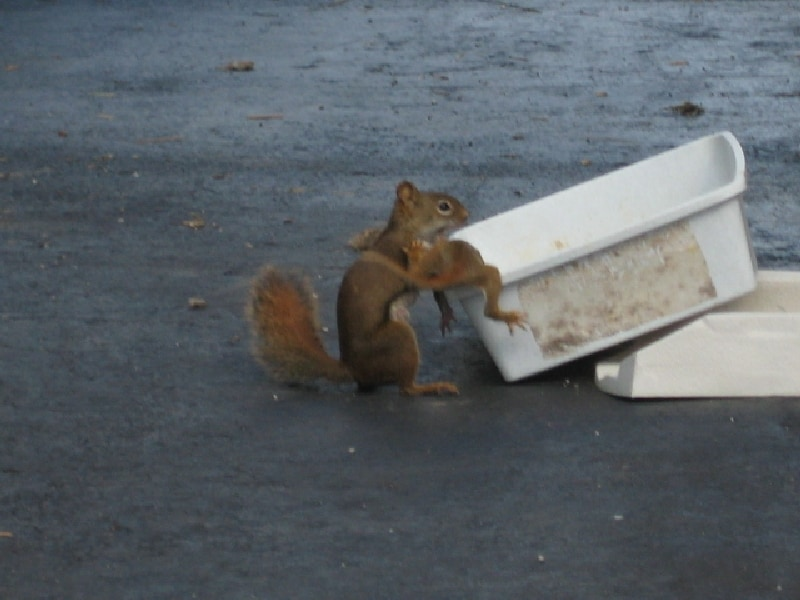 how to get rid of squirrels in roof