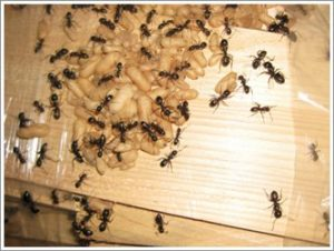 ant pest infestation in Toronto