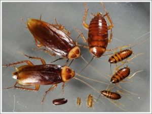 cockroach pest infestations