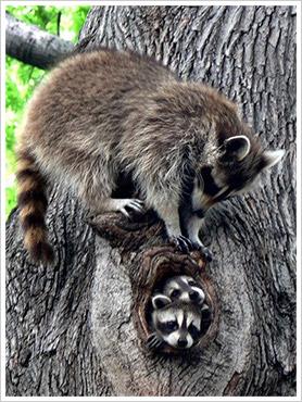 raccoons in tree in Toronto