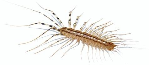 Centipedes Pest Control Toronto