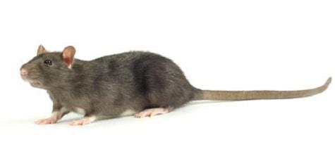 Roof Rats U0026 Attic Mice Control Toronto