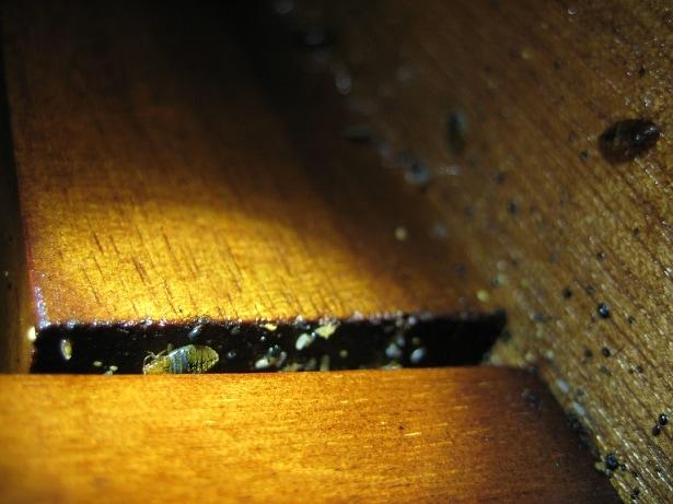 bed bug nest