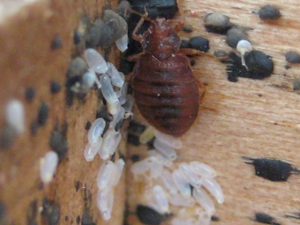 Bed Bugs Toronto - Affordable Bed Bugs Exterminator ...