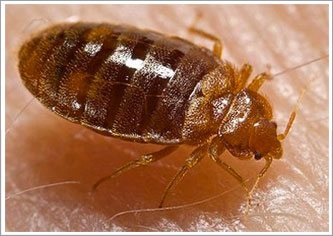 commercial bed bug extermination toronto