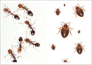 Vaughan Bed Bug Exterminator