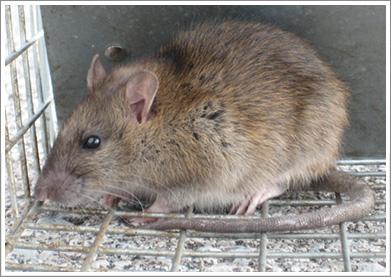 mice control Mississauga