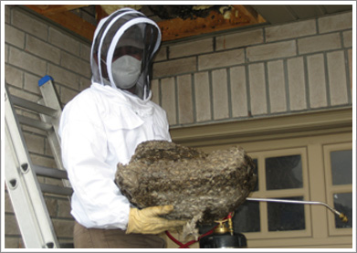 wasp nest removal Mississauga