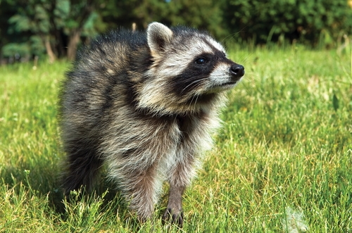 raccoon on lawn