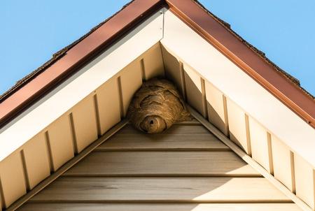 aerial wasp nest