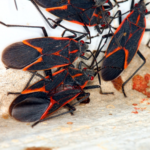 Gathering of Boxelder Bugs on a spring day