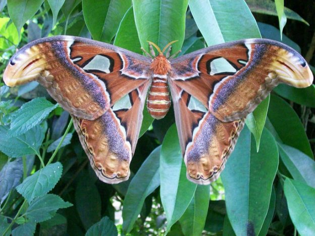 butterfly in close-up called attacus atlas on a leaf