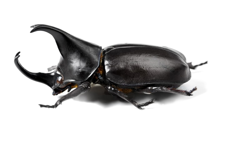 Closeup side view of a rhinoceros beetle