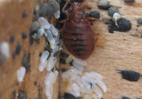 female bed bug eggs