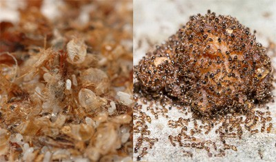 Ant Bed Bug Control Vaughan