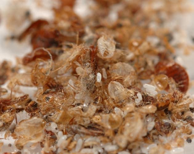 Bed Bug Exterminator Barrie