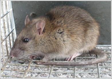 Rodent pest control Brampton