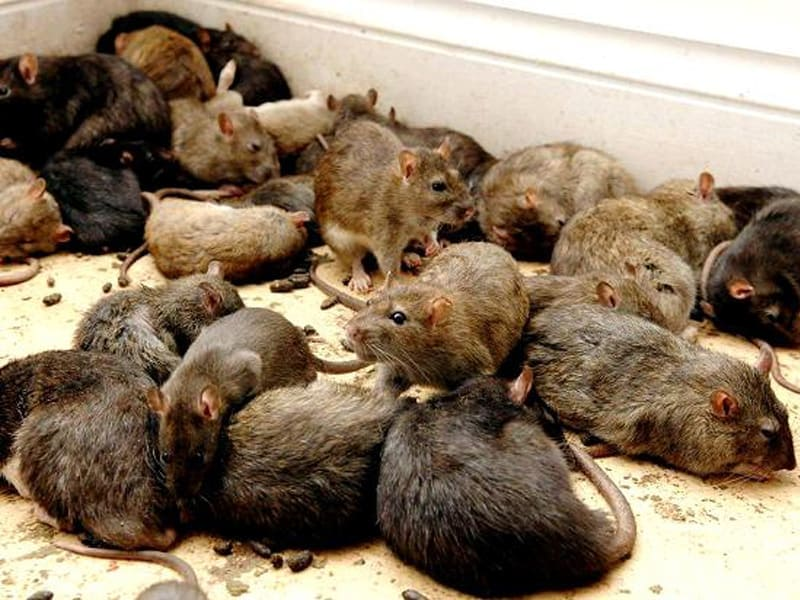 Rodent and Mice Removal in Toronto