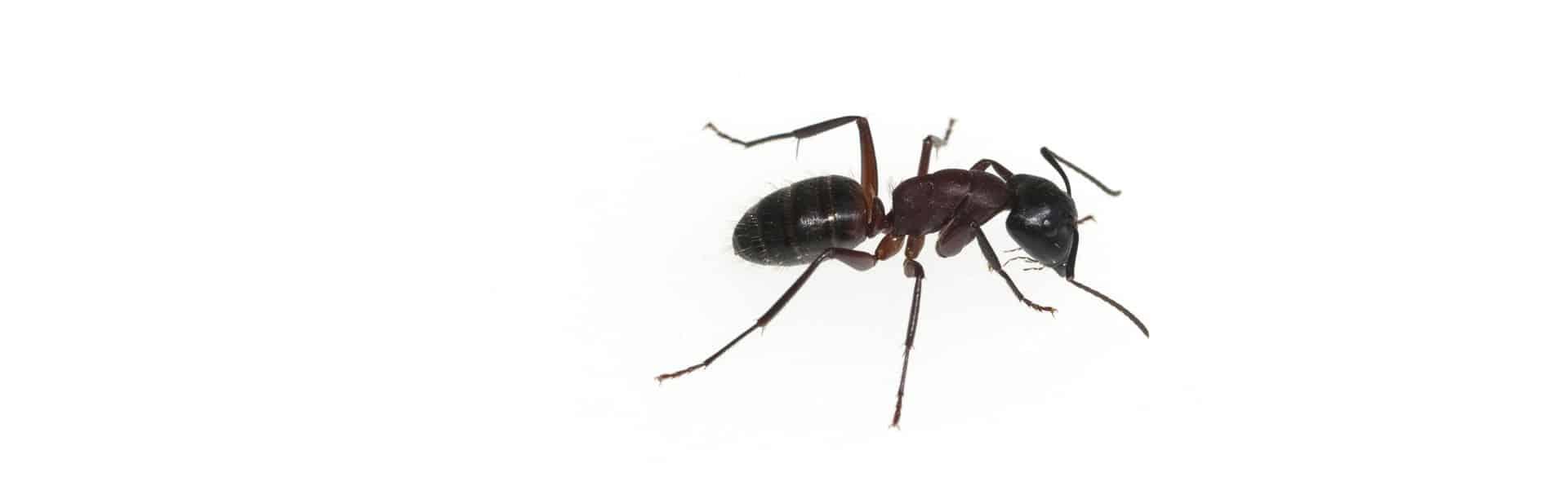 Carpenter ant removal Toronto