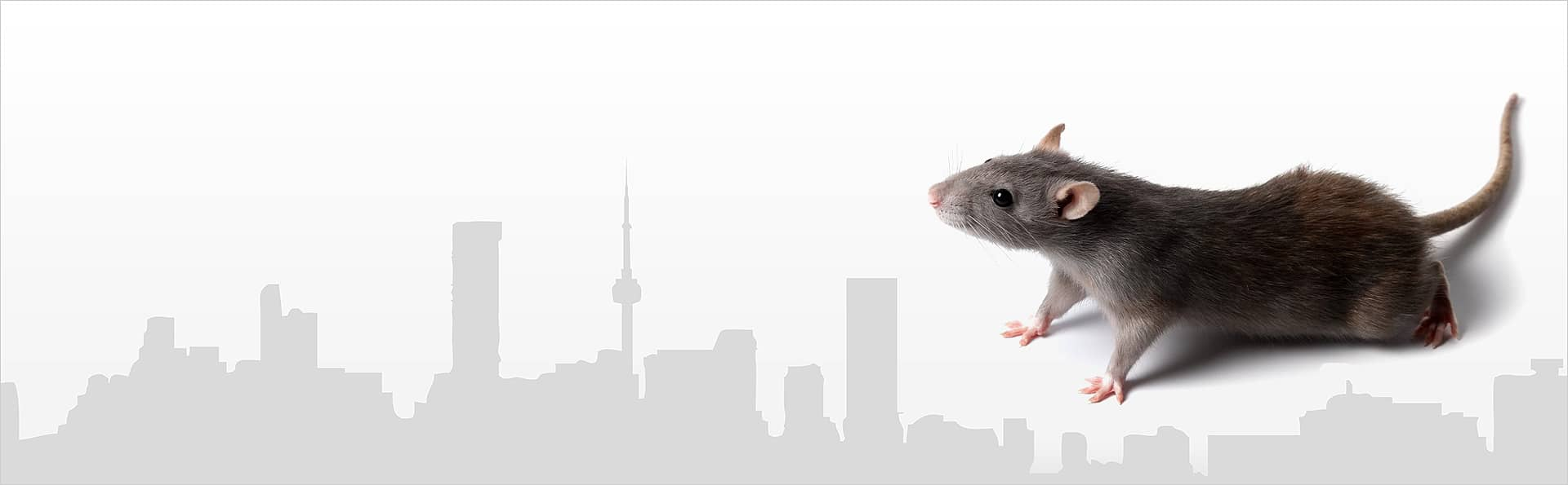 Mouse Control Toronto - How To Get Rid Of Mice - Mice