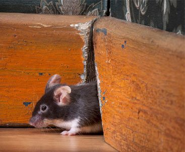 Mouse stealing cheese from mousetrap