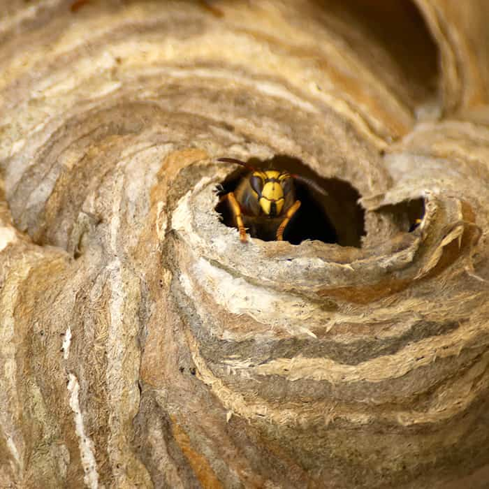 Big wasp nest in Toronto