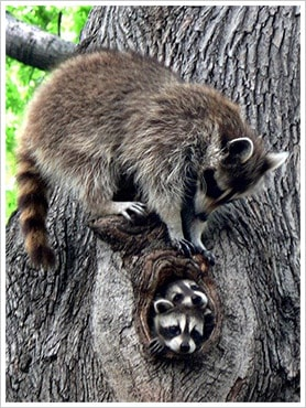 Raccoons in tree in Toronto