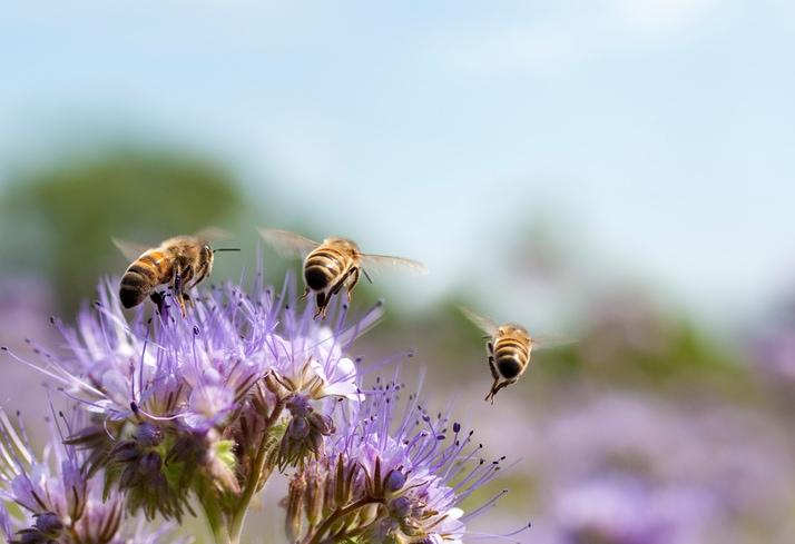 Honey bee flying away