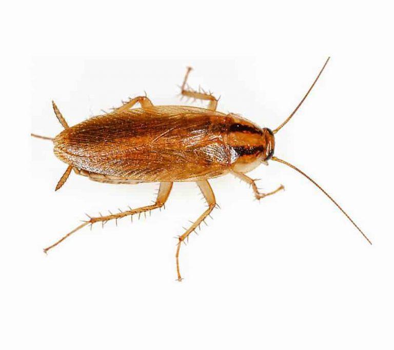German Cockroach Control Toronto