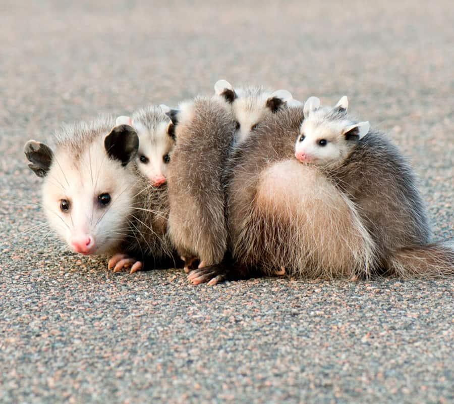 Opossum Removal Toronto