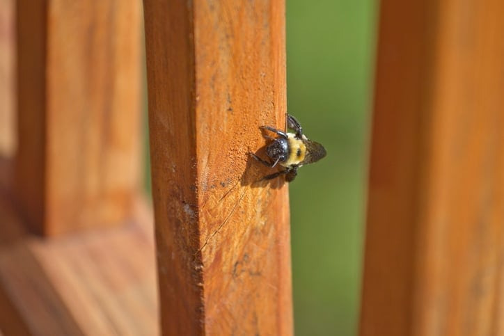 Carpenter Bee Burrowing Into a Deck