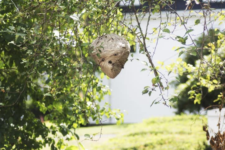 A front view of a dangerous wasp nest in the distance