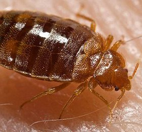 Bed bug extermination Toronto